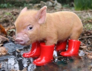 An unsullied pig